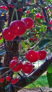 montmorency (tart) cherries