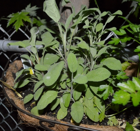 Night-time sage pickin'!